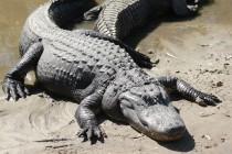 Šta znate o aligatorima?