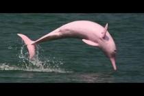 Ružičasti delfin: Ukras jezera Čarls