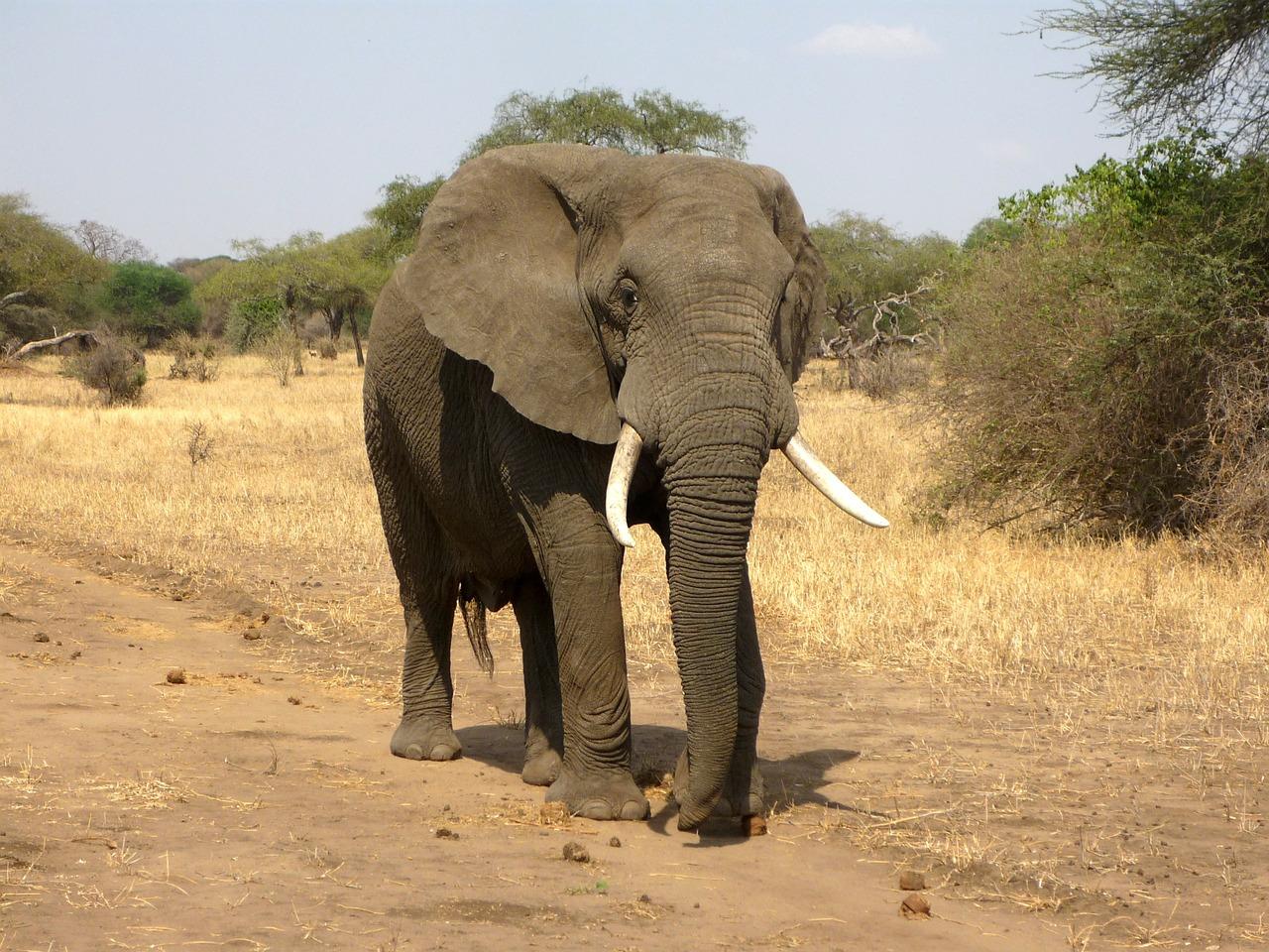 slon-veliki