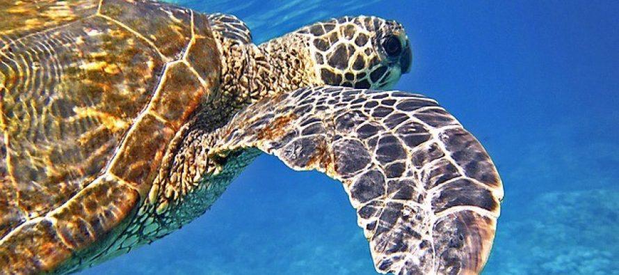 Čudo prirode: Svetleća morska kornjača