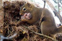 Pronađeno pet veverica sa umršenim repovima