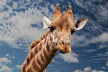 Divlje životinje za koje niste ni znali da su ugrožene