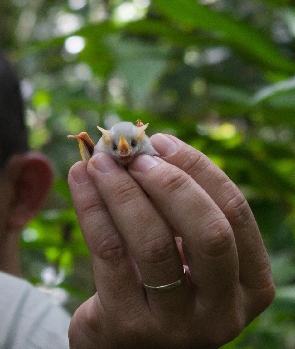Ectophylla alba