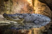 Kako spavaju krokodili?