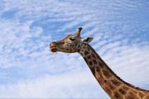 Otkud žirafama tako dug vrat?