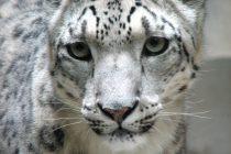 Zanimljive činjenice o snežnim leopardima