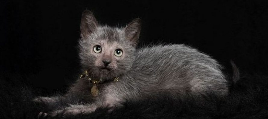 Mačke vukodlaci osvajaju internet!