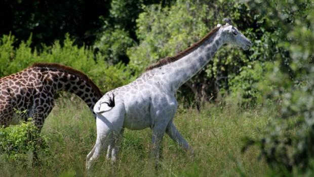 albino zirafa
