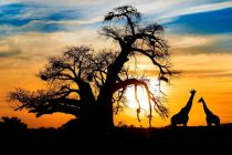 Viđena prva bela žirafa