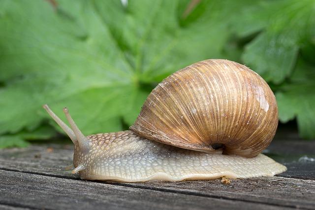 gastropoda-1086904_640