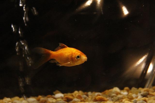 goldfish-669446_640