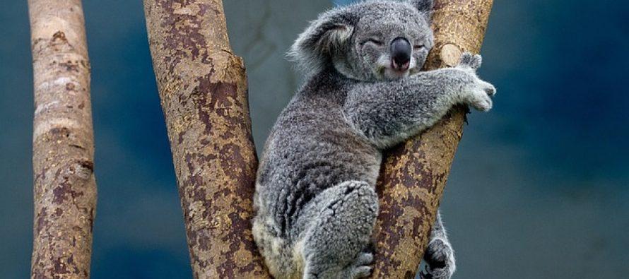 Zanimljive činjenice o koalama