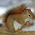 red-squirrel-570936_1280