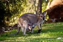 Kako je kengur dobio ime?