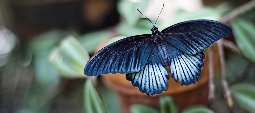 Da li leptiri zaista žive samo jedan dan?