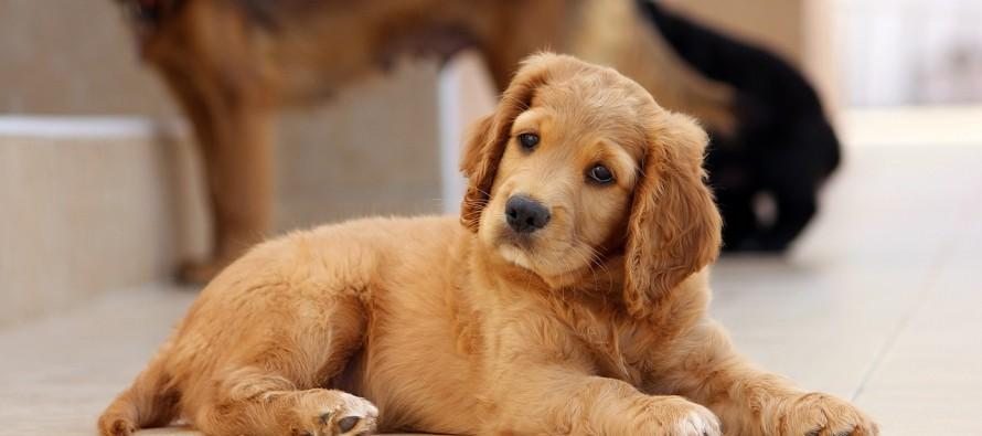 Zašto psi naginju glavu kada im se obratimo?