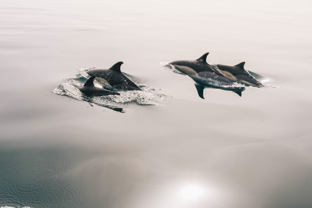 dolphins-945410_1280