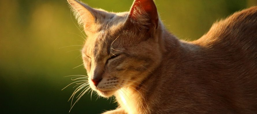 Zašto mačke imaju brkove?