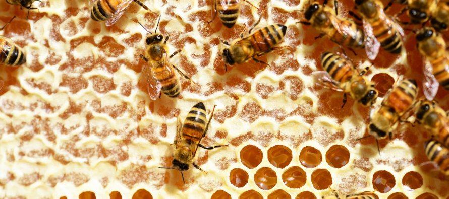 Ko je vredniji pčela ili mrav?