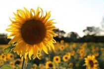 Zašto se suncokreti okreću prema Suncu?