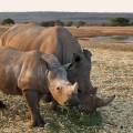 nosorozi
