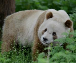 Jedinstvena u svojoj vrsti – braon panda!
