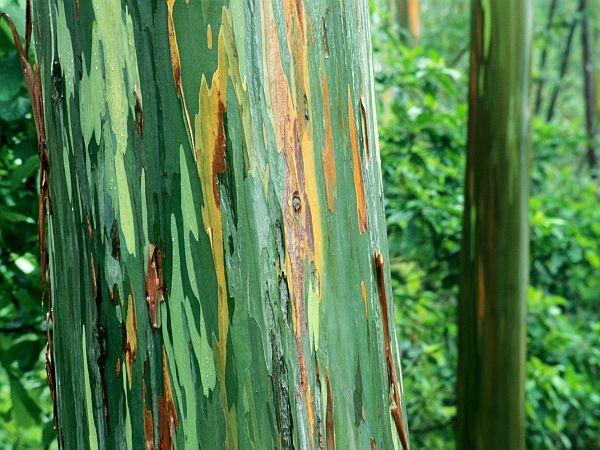 drvo-eukaliptusa