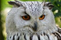 Sove – iznenađujuće misteriozne ptice!