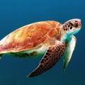kornjaca voda