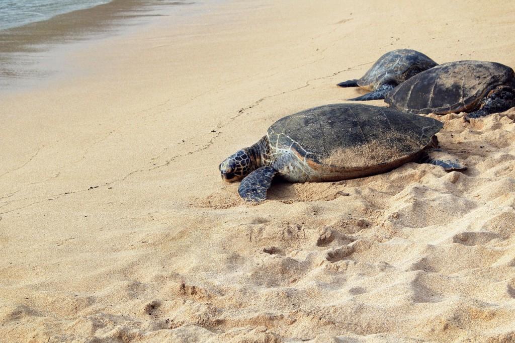 kornjace na pesku