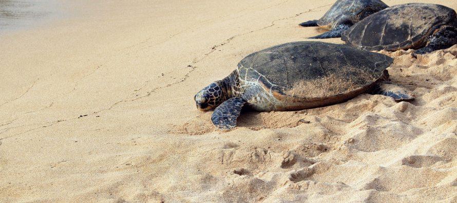 Zabeležen rekordan broj gnezda kornjača na Zakintosu!