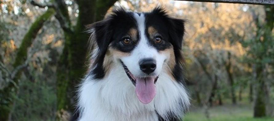 Najtalentovaniji pas na svetu – igra, slika, svira…