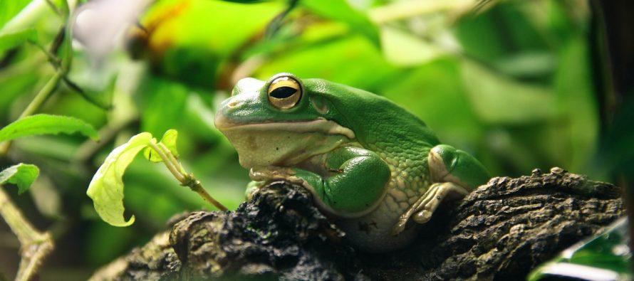 Ova žaba ima skelet koji svetli u mraku!
