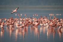 Zašto flamingosi stoje samo na jednoj nozi?
