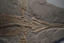 Pronađen skoro ceo fosil velikog prastarog ribolikog vodenog reptila