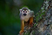 Pogledajte po čemu je jedinstvena jedna vrsta majmuna