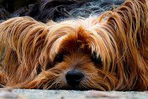 Zašto psi imaju brkove?