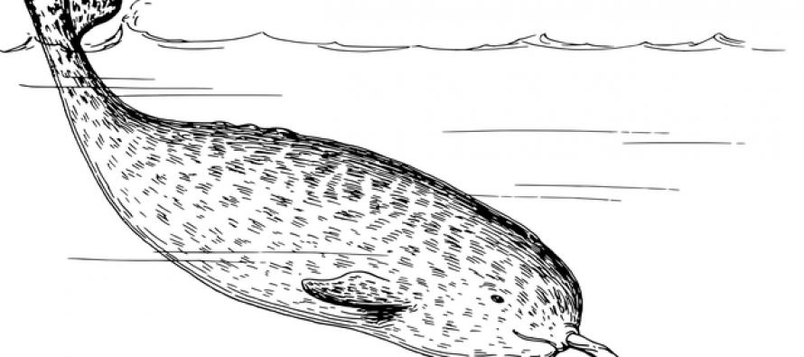 Otkivene nove pojedinosti o čudesnim kitovima narvalima