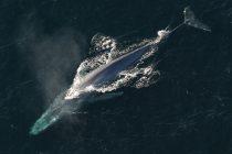 Prvi put u istoriji: Jedna vrsta kitova je ugrožena!