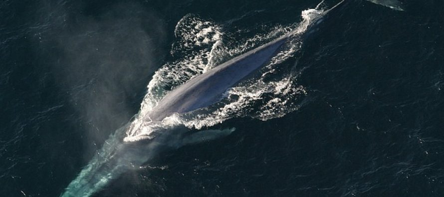 Grbavi kit u reci Temzi?