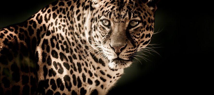 Kambodžijskim leopardima preti izumiranje