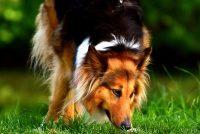 Najpametnije rase pasa na svetu