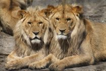 Nekoliko zanimljivih činjenica o kralju džungle