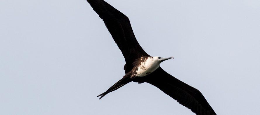 Mogu li ptice da spavaju dok lete?