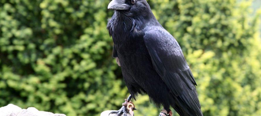 Koju neobičnu veštinu poseduje vrana?