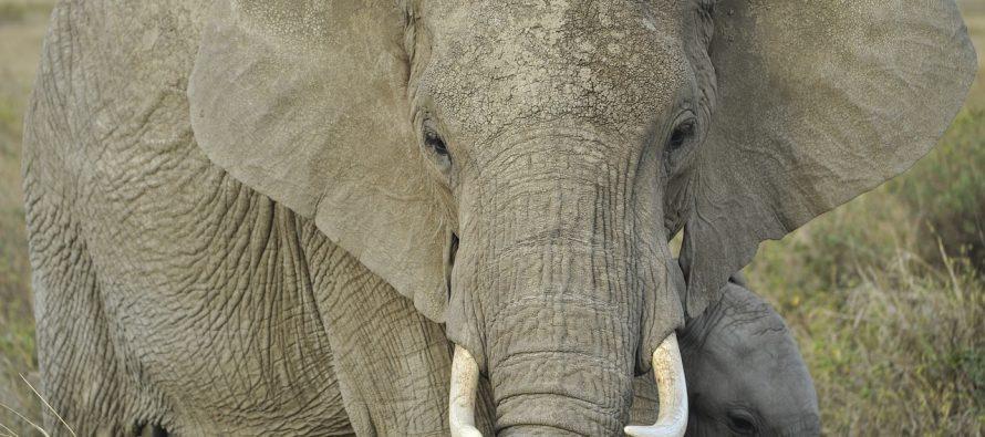 Zašto slonovi imaju velike uši?