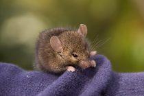 Koje životinjske vrste umiru nakon parenja?