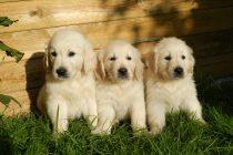 Kako psi stiču popularnost?