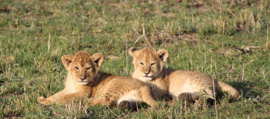 Rođeni prvi lavići iz epruvete!