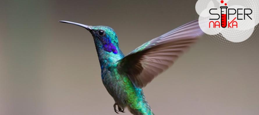 Kolibri je najmanja ptica na svetu?